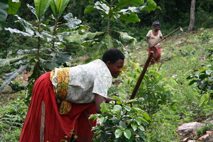 Kvinderne arbejder i kaffe plantagen