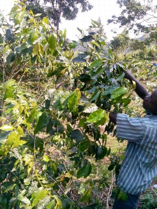 Kaffetræet bliver beskåret.