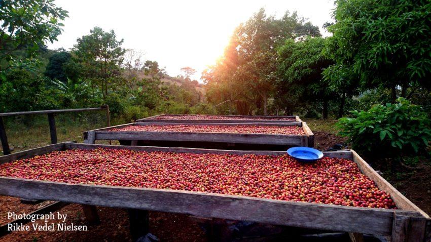 Soltørring af kaffe på kaffefarmen.