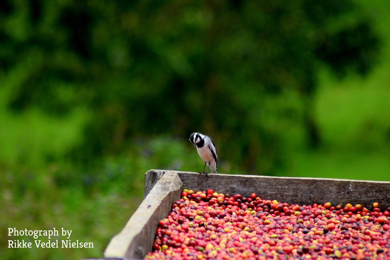 Selv fuglene hjælper med i tørringsprocessen af kaffen.
